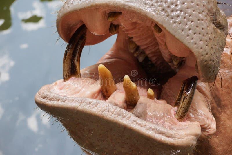 Mund und Zähne eines Nilpopotamus lizenzfreies stockbild