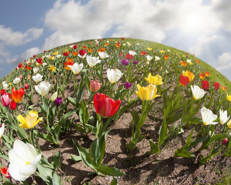 Mundo dos Tulips fotos de stock royalty free