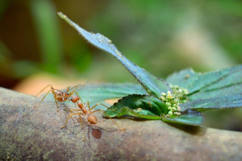 Mundo minúsculo da formiga (macro, ambiente do foco seletivo no fundo da folha) fotografia de stock royalty free