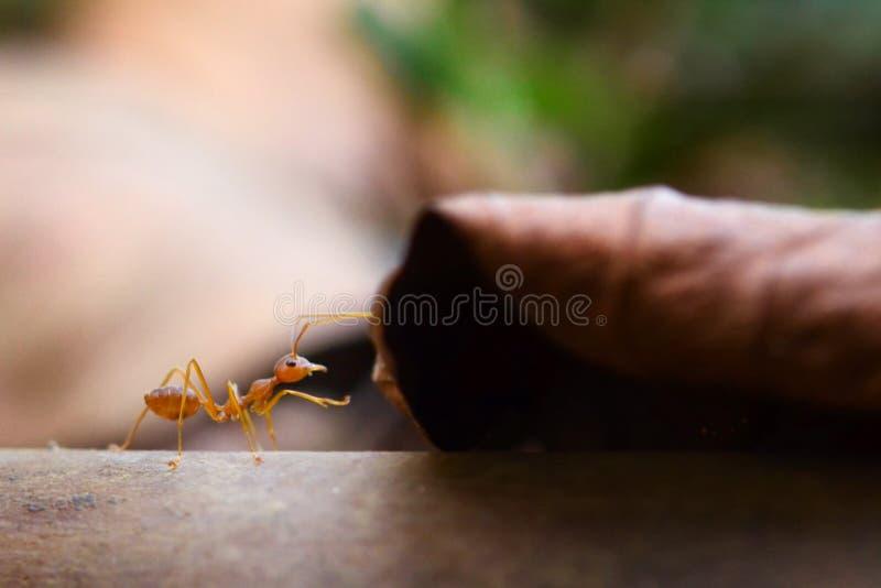 Mundo minúsculo da formiga (macro, ambiente do foco seletivo no fundo da folha) foto de stock royalty free