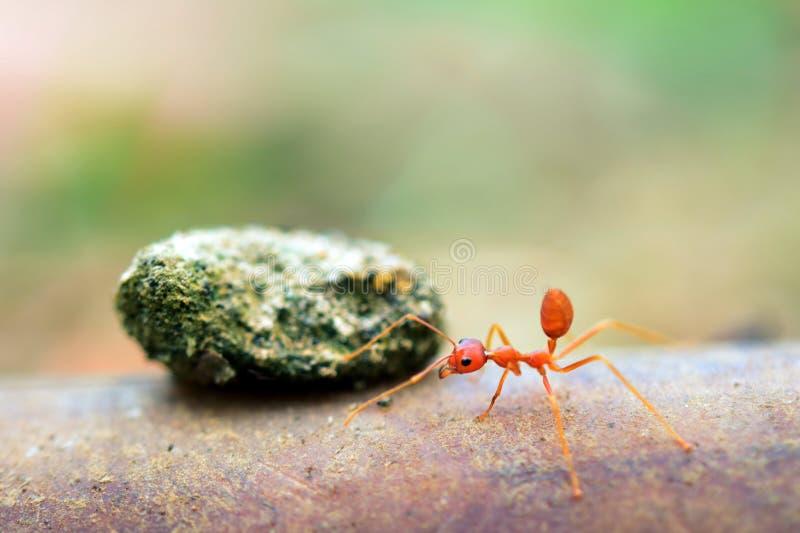 Mundo minúsculo da formiga (macro, ambiente do foco seletivo no fundo da folha) imagens de stock royalty free