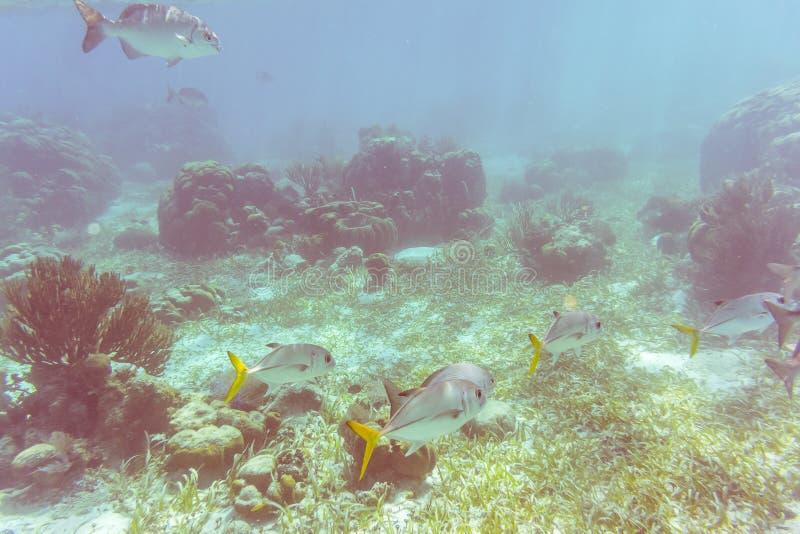 Mundo subacuático en el filón cerca del calafate de Caye en Belice imagen de archivo libre de regalías