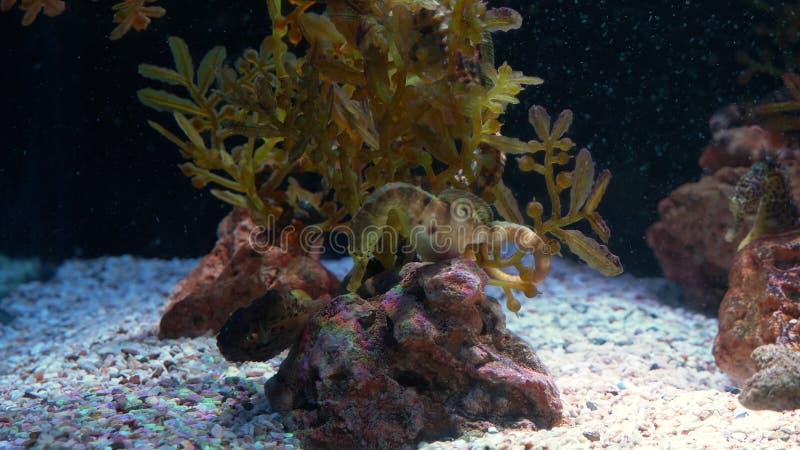 Mundo subacuático, muchos arrecifes de coral multicolores de los pescados seahorses fotografía de archivo
