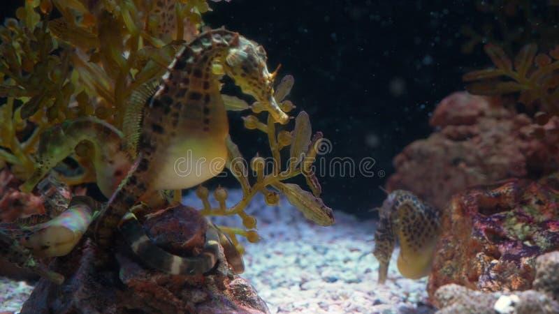 Mundo subacuático, muchos arrecifes de coral multicolores de los pescados seahorses imagenes de archivo