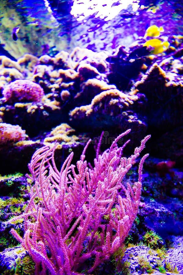 Mundo subacu?tico maravilloso y hermoso con los corales y los pescados tropicales imagen de archivo libre de regalías