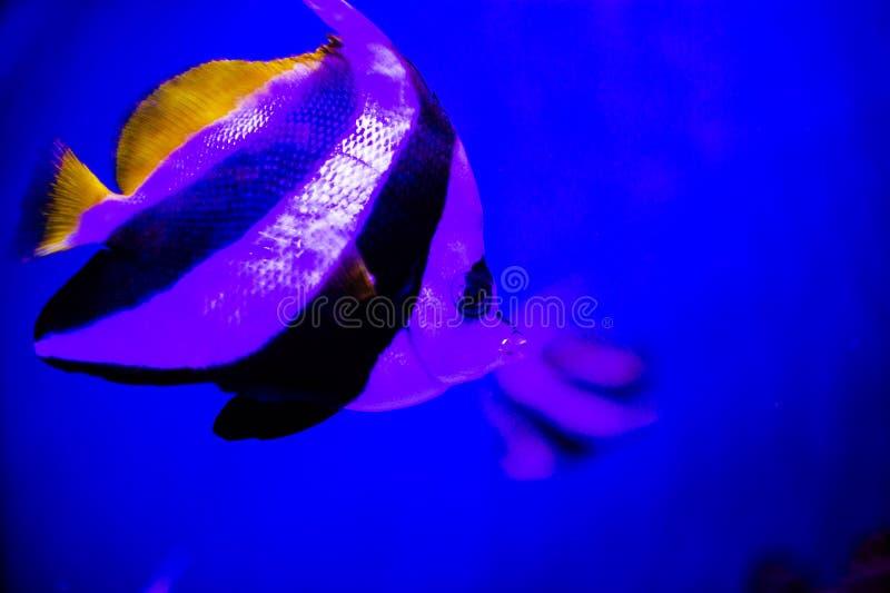 Mundo subacu?tico maravilloso y hermoso con los corales y los pescados tropicales imagen de archivo