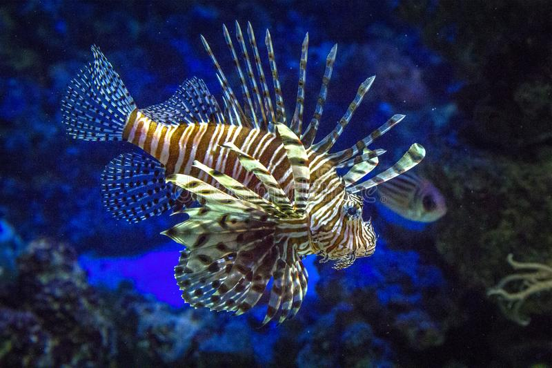 Mundo subaquático maravilhoso e bonito com volitans Linnaeus do Pterois do Lionfish um muito venenoso fotografia de stock