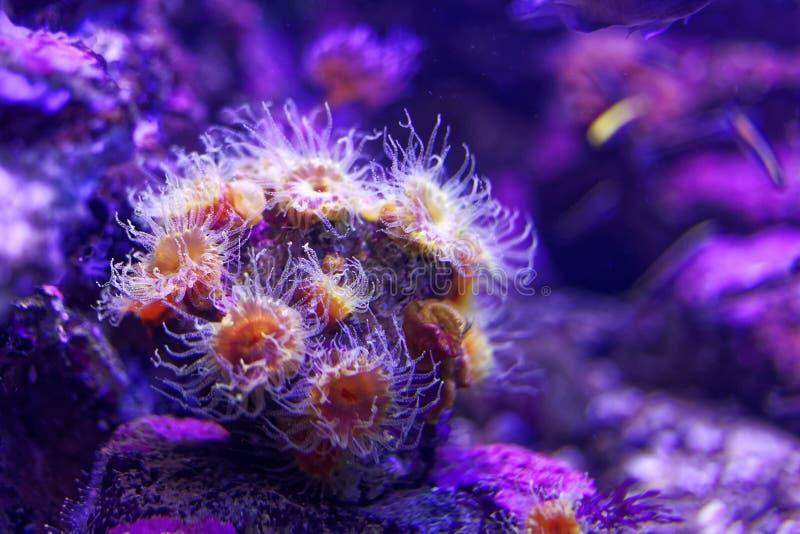 Mundo subaquático roxo da anêmona de mar