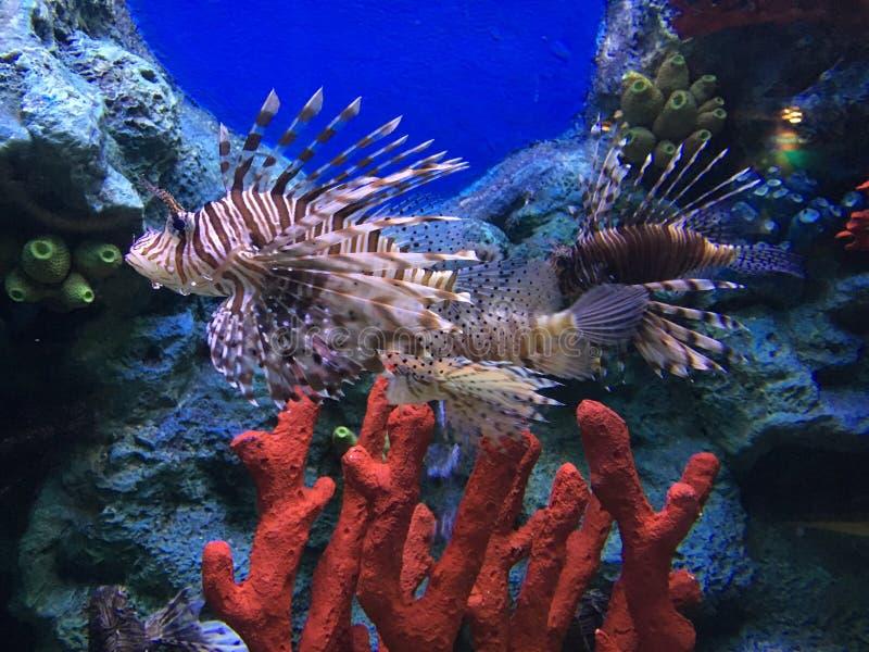 Mundo subaqu?tico maravilhoso e bonito com corais e os peixes tropicais foto de stock royalty free