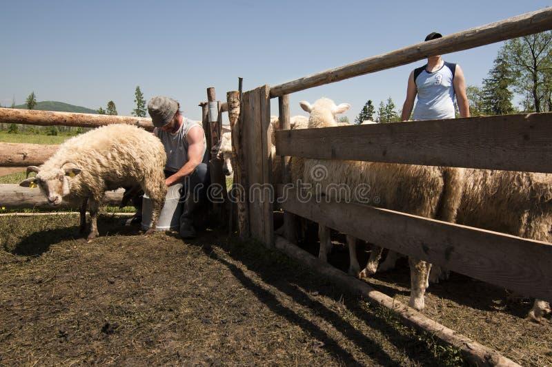 Mungitura a mano della pecora fotografie stock