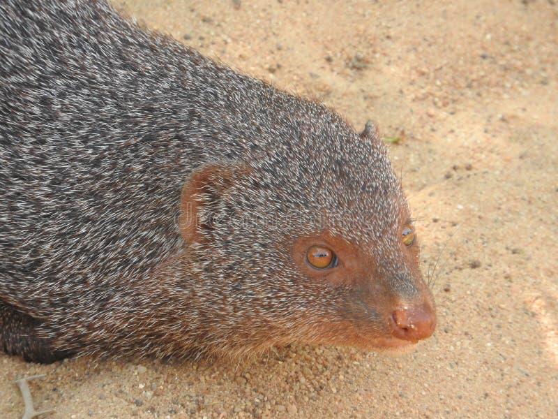 Mungo, auf der Insel von Sri Lanka Nahaufnahmeporträt eines Mungos stockfotografie