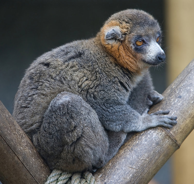 Mungo Lemur 1 stockbilder