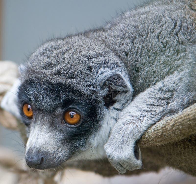 Mungo Lemur 2 lizenzfreie stockfotos