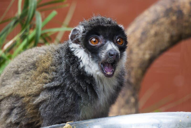 Mungo-Maki mit dem Mund offen lizenzfreies stockfoto