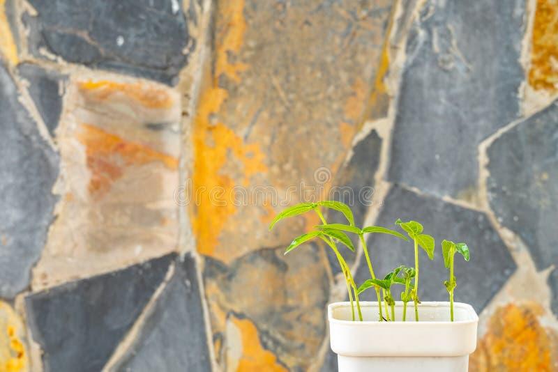 Mungobohneanlagen zu Hause gewachsen in den Töpfen lizenzfreies stockfoto