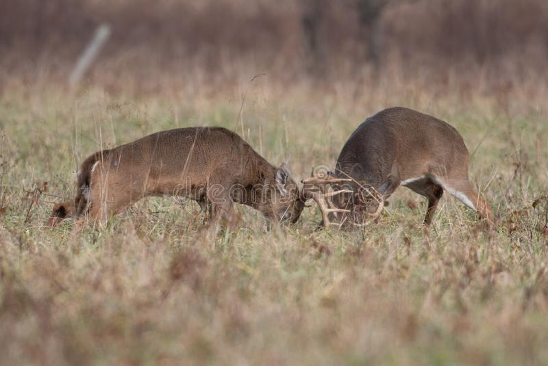 Munhuggas för två vit-tailed hjortbockar fotografering för bildbyråer