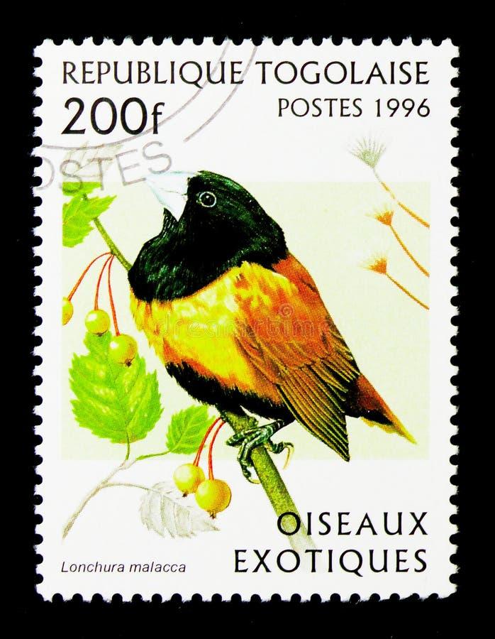 Munia à tête noire (Lonchura Malacca), serie exotique d'oiseaux, vers photo stock