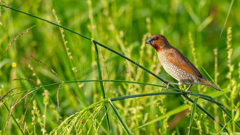 Munia écallieux-Breasted étant perché sur la tige d'herbe examinant une distance photo libre de droits