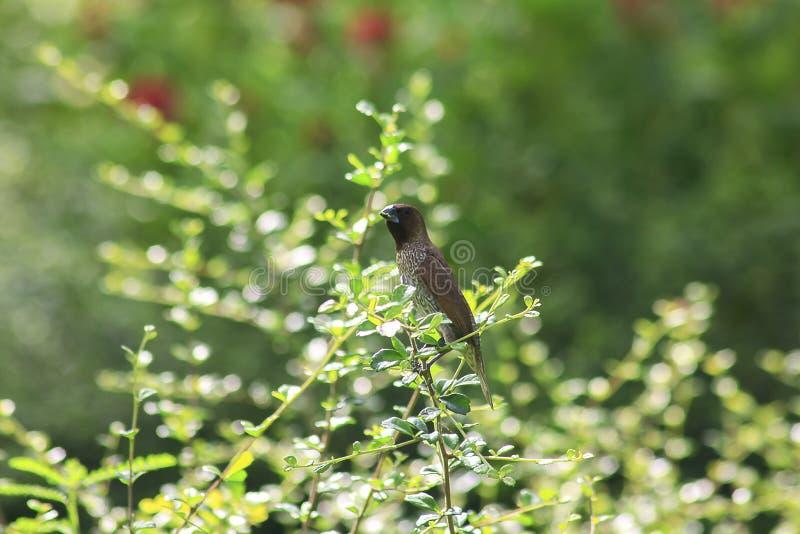 Munia écallieux-breasted sur les branches images libres de droits