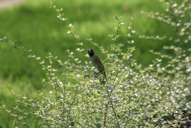 Munia écallieux-breasted sur les branches photo libre de droits