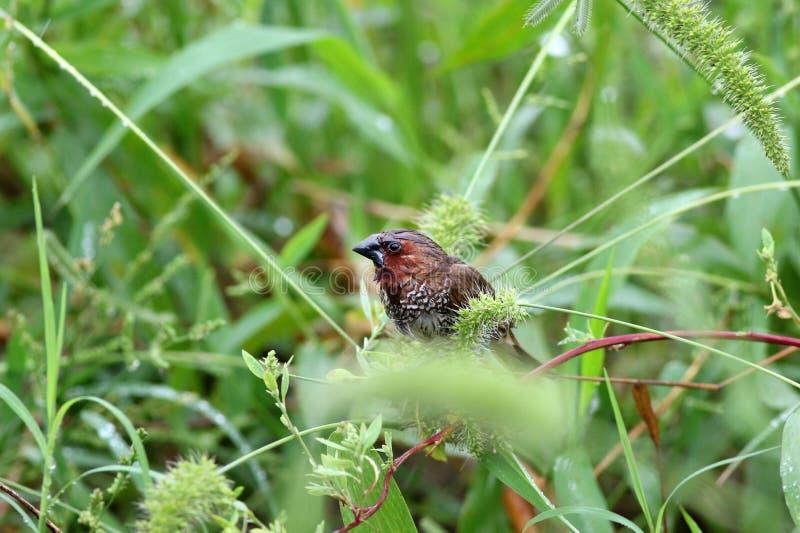 Munia breasted écallieux photo libre de droits