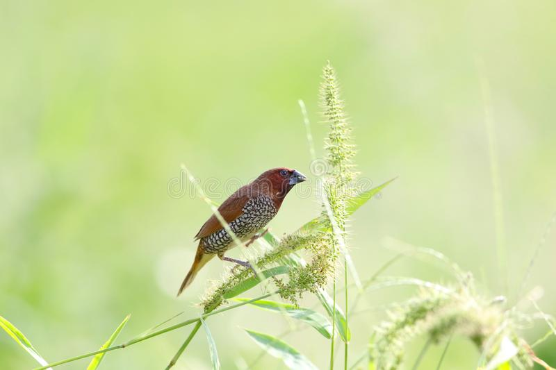 Munia breasted écallieux image stock