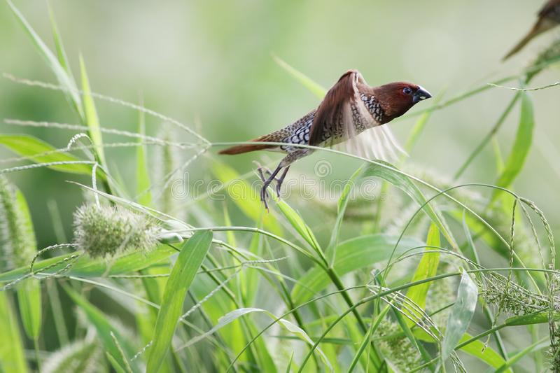 Munia breasted écallieux images stock