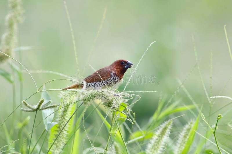 Munia breasted écallieux photo stock