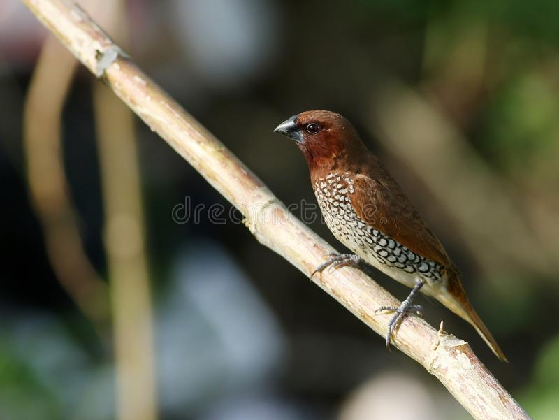 Munia breasted écallieux photographie stock