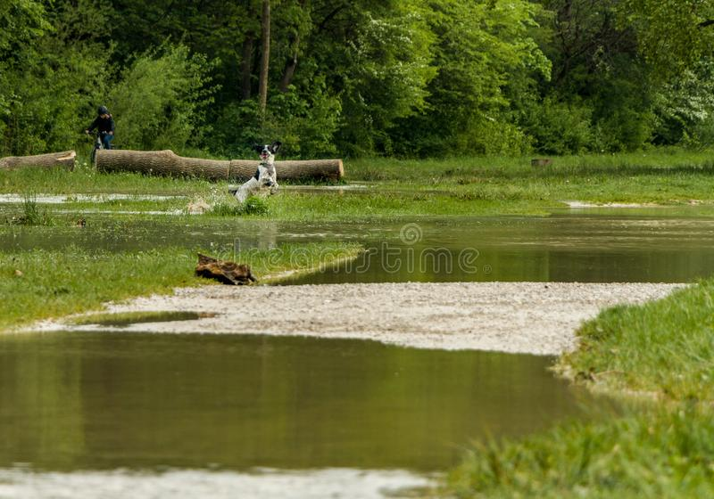 munich, isar, brudermuehlbruecke, Mai 22, 2019: storm deep axel is flooding the isar in munich, a dog having fun in the floods stock photography