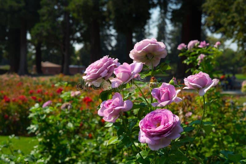 Pink rose in Rose Gardens royalty free stock photo