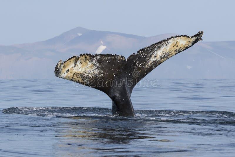 Munisca la megattera di coda che si tuffa nell'acqua sui precedenti o fotografia stock libera da diritti