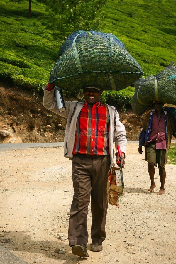 MUNNAR, КЕРАЛА, ИНДИЯ - 8-ОЕ ЯНВАРЯ 2015: Подборщики чая носят сумки с листьями чая на его голове в Munnar, Индии 8-ое января 201 стоковые фото