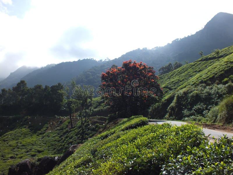 Munnar-Teeplantagen stockbild