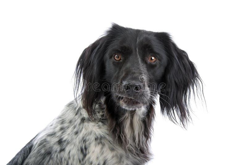 Download Munsterlander portrait stock photo. Image of coat, docile - 9673144