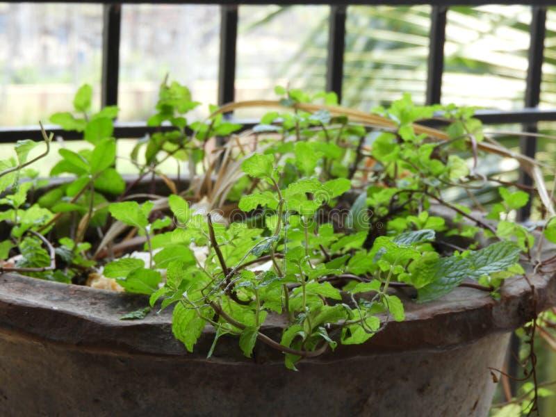 Muntbladeren als mentha ook worden geroepen die stock foto