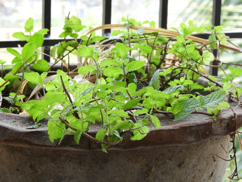 Muntbladeren als mentha ook worden geroepen die royalty-vrije stock afbeelding