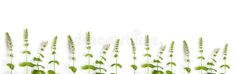 Muntgras met bloemen op witte achtergrond Banner van verse munt en exemplaarruimte royalty-vrije stock foto's