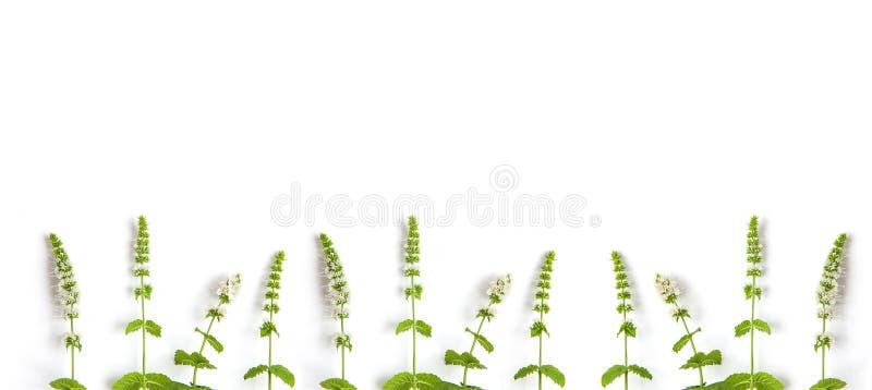 Muntgras met bloemen op witte achtergrond Banner van verse munt en exemplaarruimte royalty-vrije stock foto