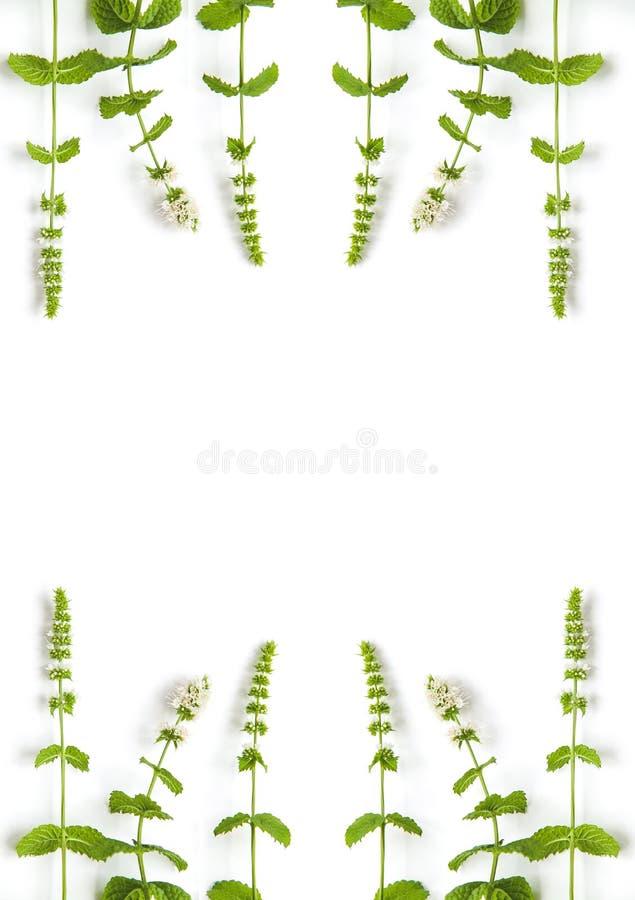 Muntgras met bloemen op witte achtergrond Banner van verse munt en exemplaarruimte royalty-vrije stock fotografie