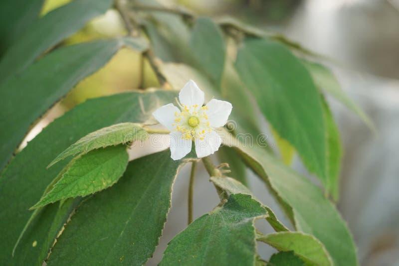 Muntingia calabura花在自然庭院里 免版税库存图片