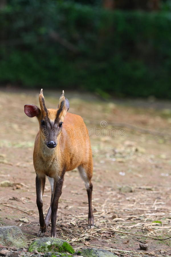 Muntjac Royalty Free Stock Images