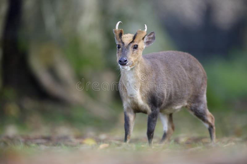 Muntjac chinois, reevesi de Muntiacus images stock