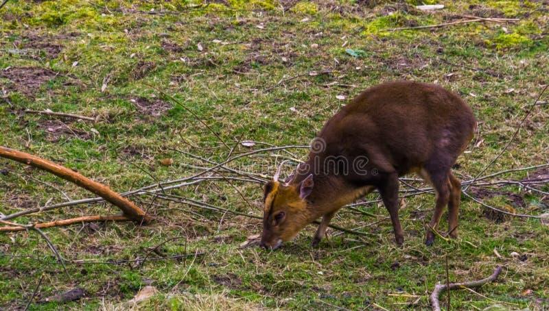 Muntjac cinese maschio che pasce nel pascolo, cervo di scortecciamento dall'Asia fotografia stock