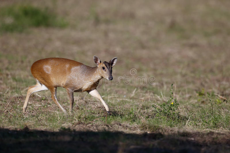 Download Muntjac, Muntiacus Reevesi, Stock Image - Image: 43395141