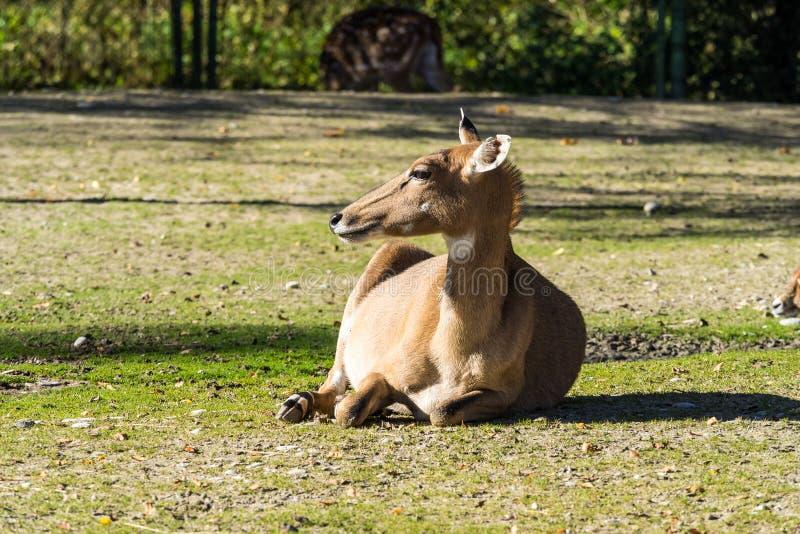 Muntjacs, также известное как лаяя олени и олени Mastreani стоковое изображение rf