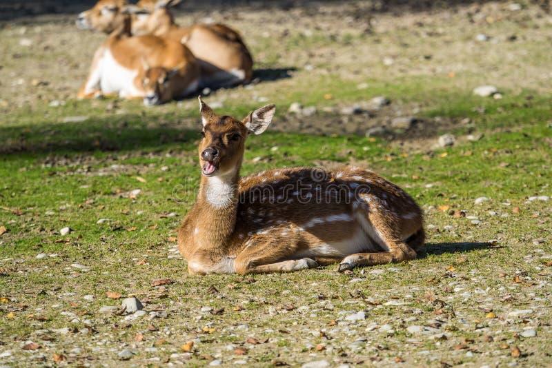 Muntjacs, также известное как лаяя олени и олени Mastreani стоковая фотография
