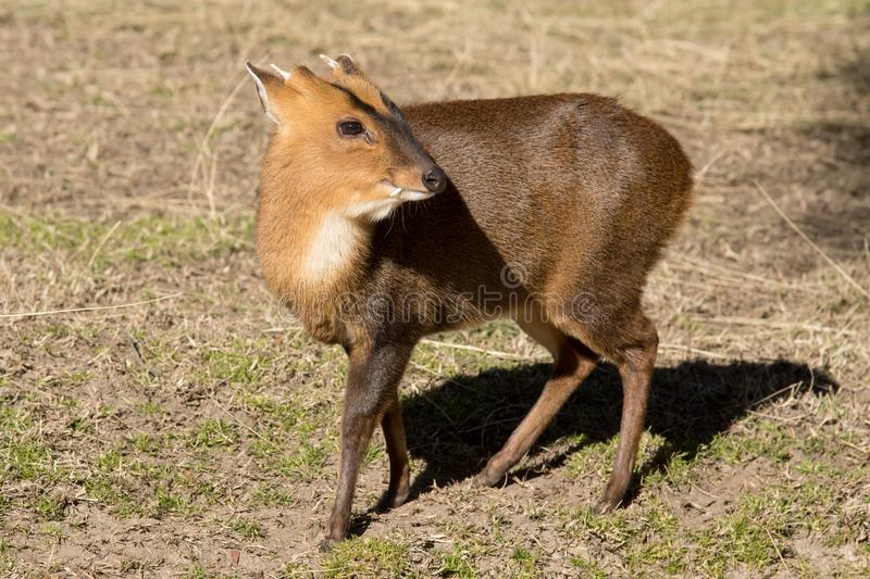 Male of Reeves`s muntjac, only males have horns and teeth stock images