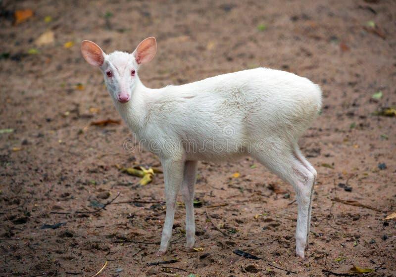 Muntjak d'Albino Barking Deer Muntiacus image stock