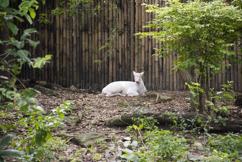 Muntjak d'Albino Barking Deer ou de Muntiacus détendant dans la cage au parc public à Bangkok, Thaïlande photo libre de droits